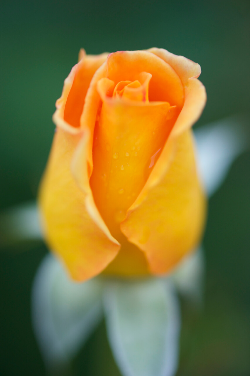 Easy Five Flower Rose Yellow